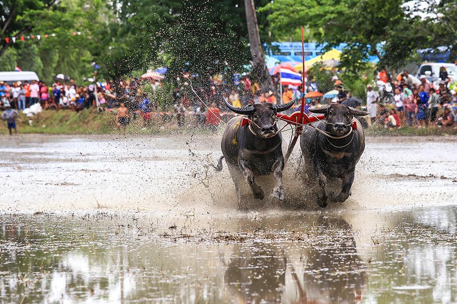 jessicas-escort-magazine-Wasserbuffelrennen-indonesia